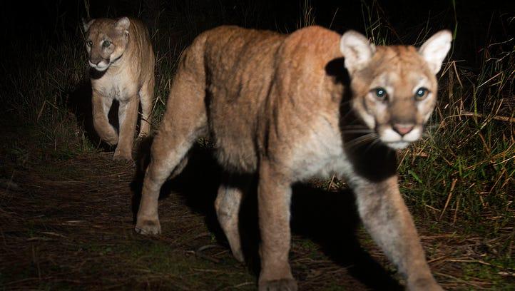 Two Florida panthers light up photographer's camera as possible mates roam Corkscrew marsh