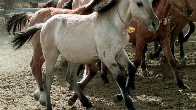 A light-colored, six-month-old wild Kiger mustang filly runs with other mustangs in the Bureau of Land Management wild horse corral in this file photo.
