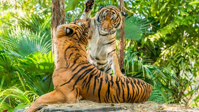 The Palm Beach Zoo announced Tuesday, April 7 that Malayan tiger Api (raising her paw) is expected to give birth in May. A bonded big cat pair, 10-year-old Api and her mate, 11-year-old Kadar, are part of the Association of Zoo and Aquarium's (Malayan Tiger Species Survival Plan, a cooperative reproduction program that serves as an important backup population for critically endangered Malayan tigers.