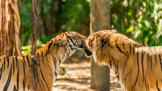 Malayan tiger Api gave birth to triplets in May at The Palm Beach Zoo. A bonded big cat pair, 10-year-old Api and her mate, 11-year-old Kadar, are part of the Association of Zoo and Aquarium's (AZA's) Malayan Tiger Species Survival Plan, a cooperative reproduction program that serves as an important backup population for critically endangered Malayan tigers.