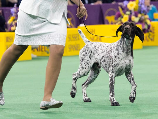 FILE- In this Feb. 16, 2016 file photo, C.J., a German shorthaired pointer, is shown in the ring during the sporting group competition at the 140th Westminster Kennel Club dog show in New York. Even before CJ, a German shorthaired pointer won best in show at the 2016 Westminster Kennel Club dog show, breed already quite popular, coming in at No. 11 in the latest American Kennel Club rankings. (AP Photo/Mary Altaffer, File)
