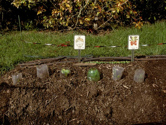If you just can't wait to plant your garden, you should use protection such as large, plastic soda bottles for cloches.