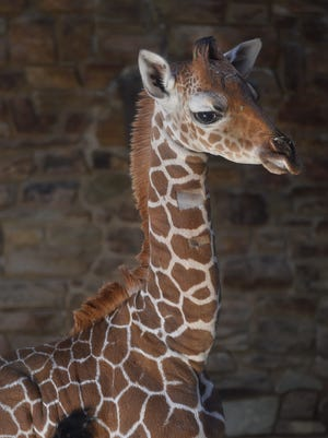 This photo provided by the Maryland Zoo on June 28, 2017, shows baby giraffe Julius.