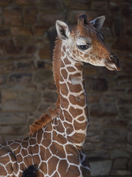 AP BABY GIRAFFE A FILE USA MD