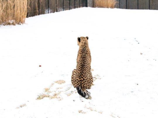 Donni, the cheetah cub, experiences snow for the first