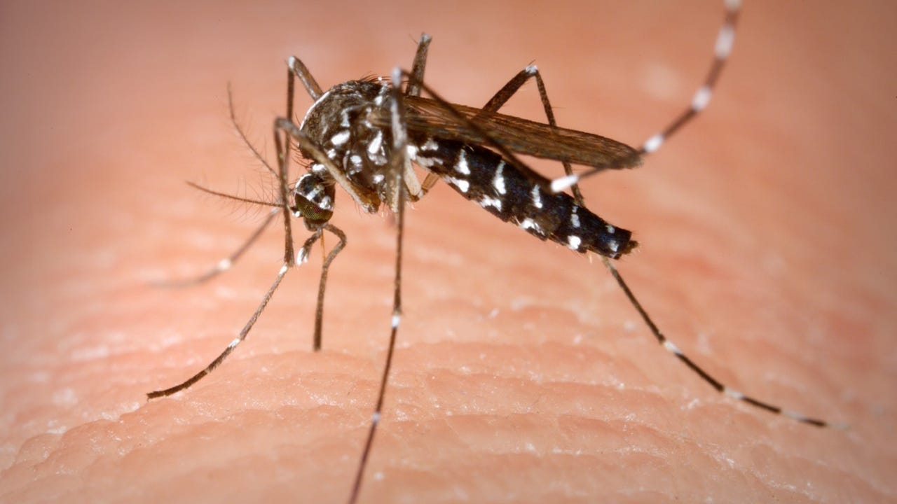 Mosquito spit may affect your immune system