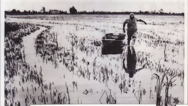 Double duty  A rice field is also a crawfish pond, too, as this 1970's photo shows a man walking through a flooded rice field to gather crawfish from submerged cages.