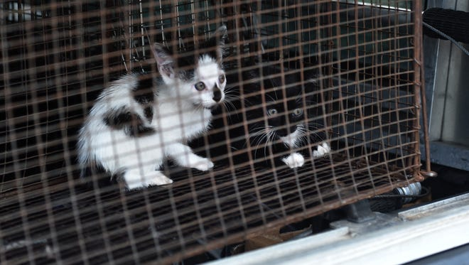 A pair of feral kittens nervously look out from a cage after being recovered by Kenny Nelson, animal control officer for the City of Fort Pierce, at a home in the 600 block of South 11th Street in Fort Pierce. The kittens will be later transported the Humane Society of St. Lucie County at 100 Savannah Road in Fort Pierce.