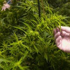 Regulatory power over dispensaries has been in dispute since Michigan voters legalized medical marijuana in 2008.