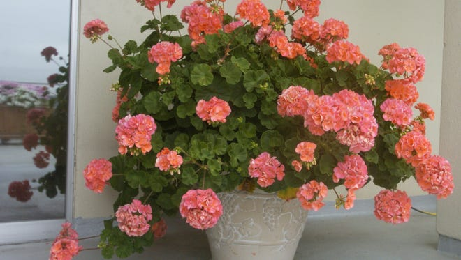 If you have budworms in potted geraniums, change out the soil each year to keep them healthy.