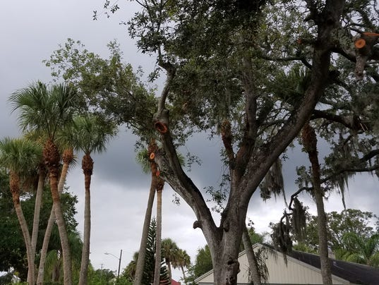 636381381523611163-Over-pruned-tree-and-palms.jpg