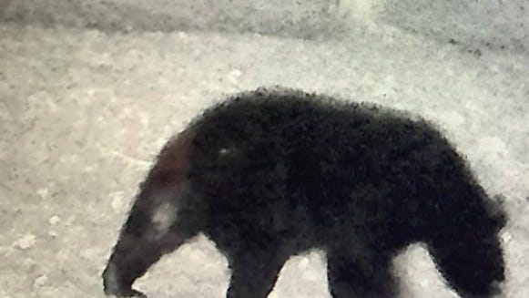 Rye police received reports of a bear on lower Wallis Road and Clark Road early Saturday morning, Oct. 10. This is a photo from a game camera in the area.