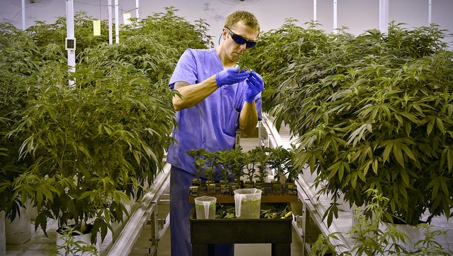 An employee cares for plants in the propagation room Wednesday at the LeafLine Labs medical marijuana facility in Cottage Grove.