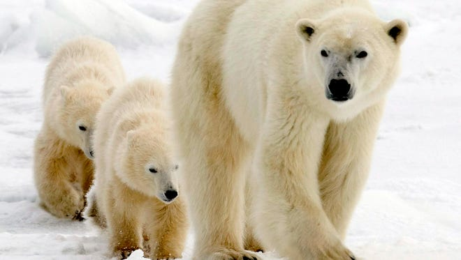 In this Nov. 7, 2007 file photo, a polar bear mother and her two cubs walk along the shore of Hudson Bay in Manitoba near Churchill, Canada.