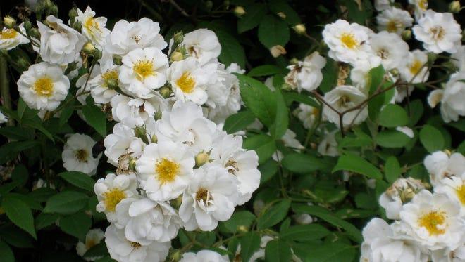 Rambling roses are vigorous growers.