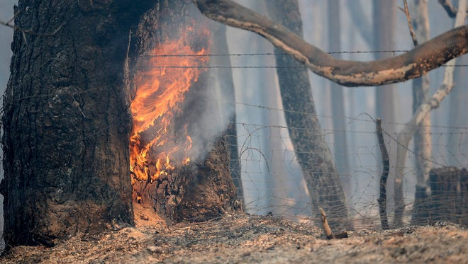 A tree continues to burn Aug. 30, 2017, from a wildfire dubbed the Ponderosa Fire along Lumpkin Road near Oroville, Calif. As of Aug. 31, the fast-moving blaze had destroyed 10 homes and damaged 5 others.