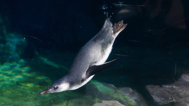 In this photo provided by the Aquarium of the Pacific, a baby penguin swims during it's public debut at the June Keyes Penguin Habitat at the Aquarium of the Pacific in Long Beach on Tuesday.