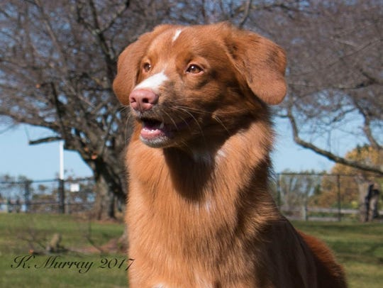 Rebecca Kirzner's Nova Scotia duck tolling retriever,
