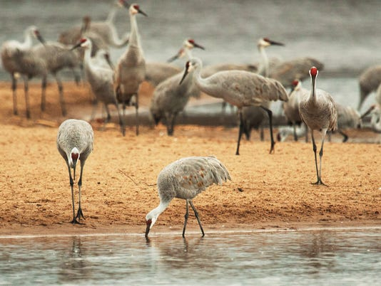 Stalking Elusive Sandhill Crane From >> Sandhill Cranes Congregate Along The Wisconsin River In The Fall