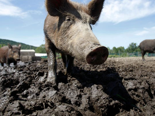 FILE - In this Aug. 24, 2011, file photo, a feral hog stands in a holding pen. (AP Photo/Mike Groll, File)