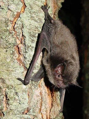 The endangered Indiana bat resides in Hendricks County parkland.