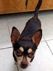 Trixie is a 2-year-old, 8-pound, female Chihuahua mix.
