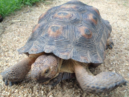 A middle aged tortoise going for a stroll