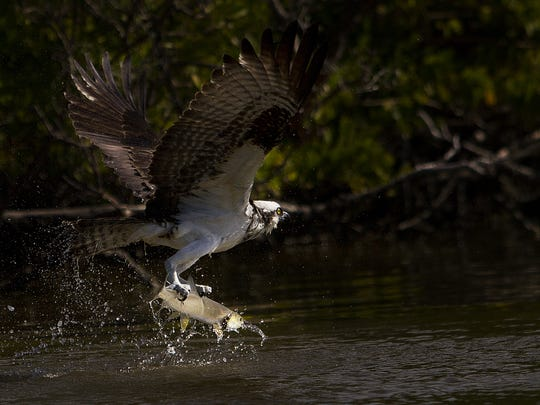 File: As Osprey catches a ladyfish on Sanibel.