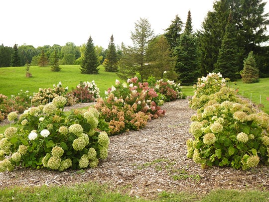 Rows of hydrangea grow in test plots at the Minnesota