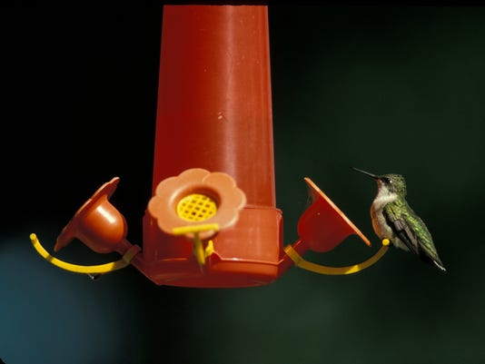 636377927916275921-Ruby-throated-hummingbird-39.jpg