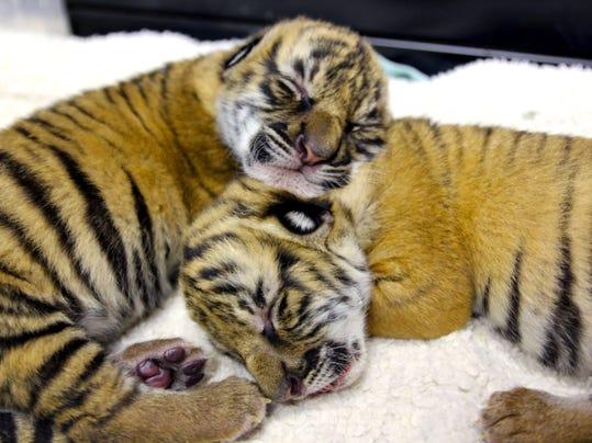 tigers2.jpg