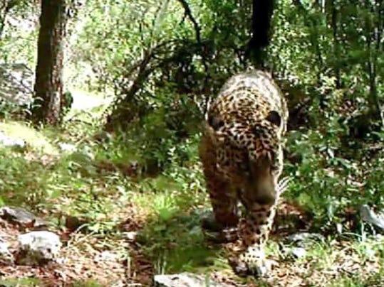 JaguarFromVideo