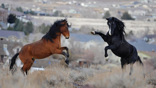 Two wild horses tangle in the Huffaker Hills in south Reno in 2010.