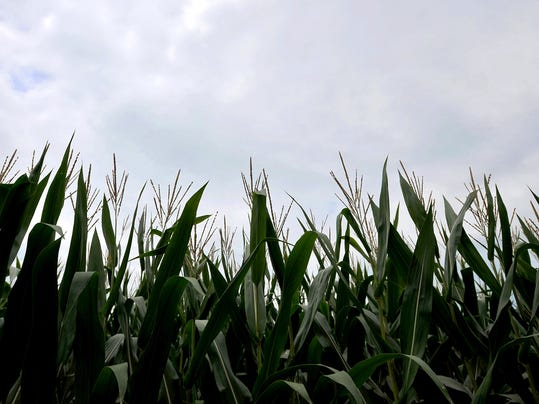 LAN 0801 corn conditions 002.jpg