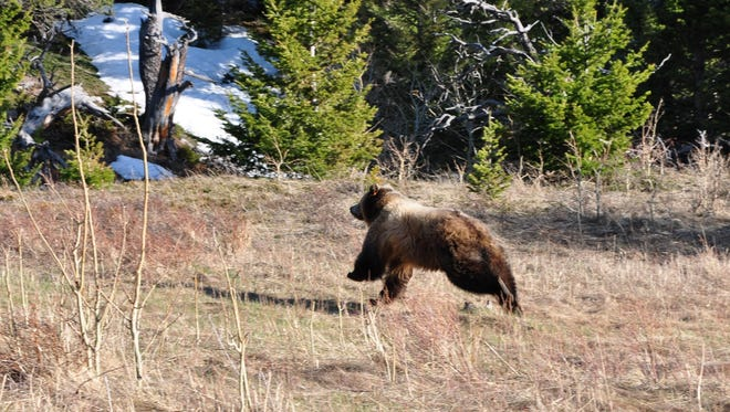 A woman was reportedly attacked by a bear south of Libby on Thursday.