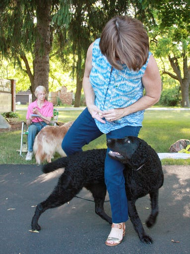 Ziva, a curly coated retrevier, weaves through owner