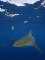 A curious shark checks out items lowered by a Shark
