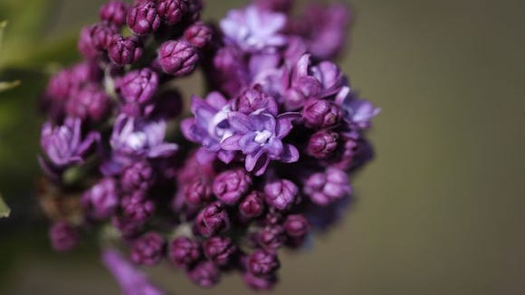 Lilac beginning to bloom at Highland Park on Tuesday, May 6