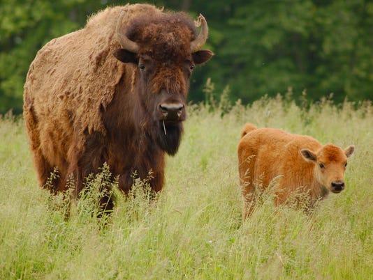 bison20-2 buffalo