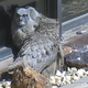 "Owlets Washoe and Zephyr (toward the back in this screenshot) hug the window ledge as one of the adult owls ""supervises"" on Monday, April 23, 2018 at the Desert Research Institute in North Reno."