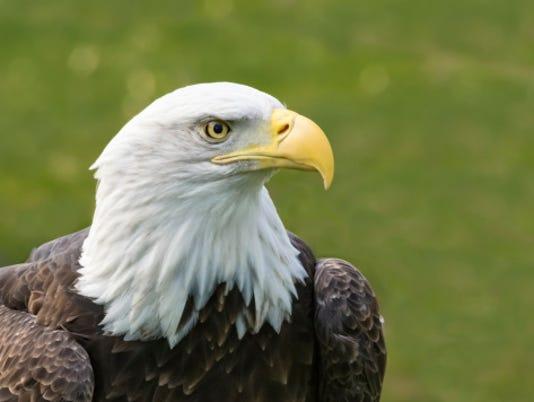 HES-stockimage-032216-bald eagle stock image.jpg