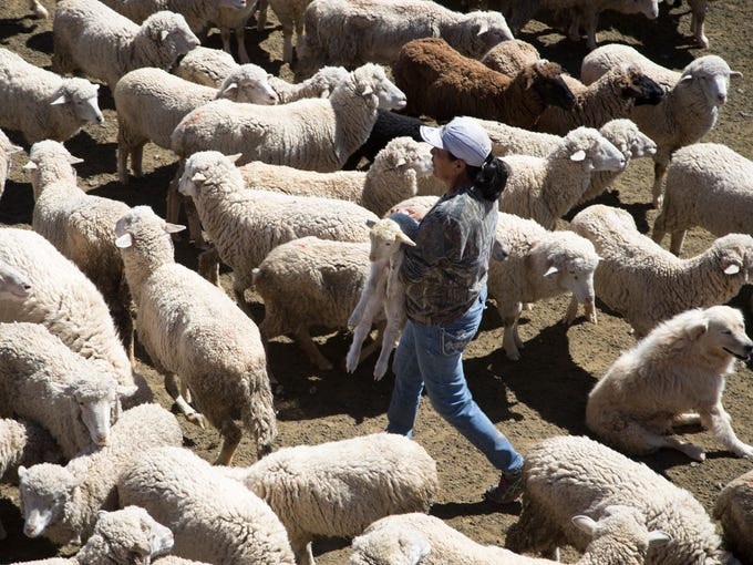 Marie Peyketewa separates lambs from their mothers