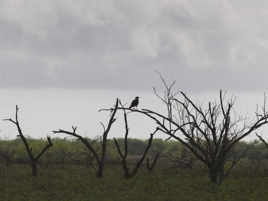 A caracara perched in a tree at Cactus Creek Ranch near Rio Hondo, Texas, in March 2017.