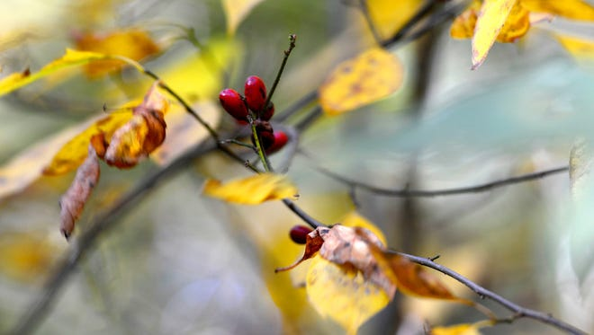 Fall leaves are seen at the Richard M. Nixon County Park, Sunday October 11, 2015. John A. Pavoncello - jpavoncello@yorkdispatch.com