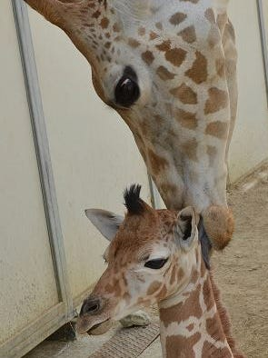 The calf was the first for mom Tuli and the sixth for dad Hesabu.