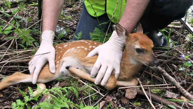 A volunteer holds a white-tailed deer fawn during a research project.