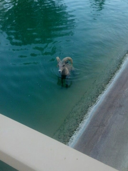BIGHORN sheep-canal-Aug 18-2014-photo by Animal Control Officer Kyle Stephens-Ri