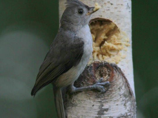 A tufted titmouse wolfs down some Bark Butter.