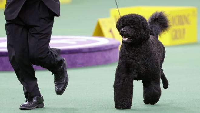 Matisse, a Portuguese water dog, competes during the 2014 Westminster Kennel Club dog show in New York.
