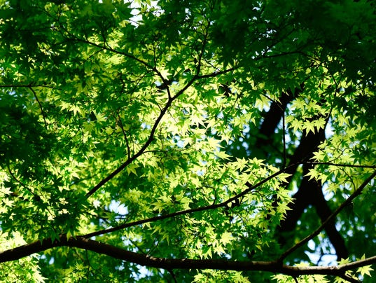 Tree Leaves Shining with Sunlight